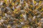 Sterfte bijenvolken afgelopen winter lager dan in vorige winters