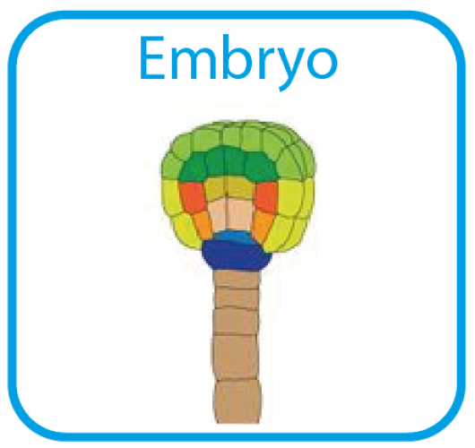 Embryo.png