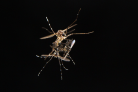 Mosquitoes mating in flight (photo by Alex Wild)