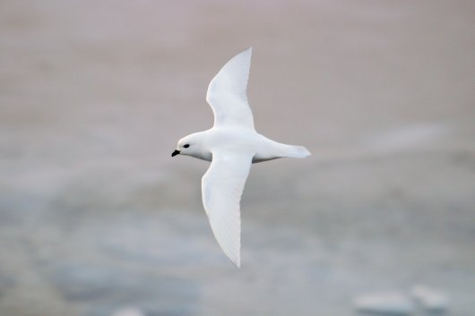 The Snow Petrel (Pagodroma nivea) is the smallest of the southern fulmarines with its plumage colour fully adapted to merge into the environment.