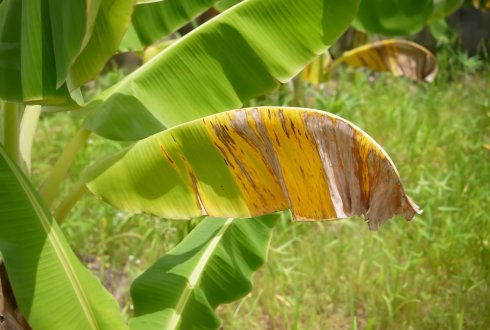 Panama disease pathogen of banana
