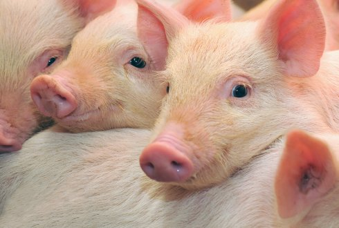 Development of pigs raised in a group housing system for lactating sows and their litters