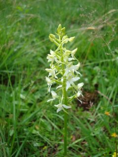 Lesser Butterfly-orchid in raised bog, a species threatened by desiccation and undue nitrogen deposition. Photo by Wieger Warmelink.