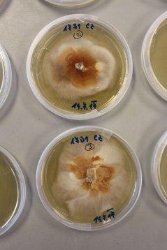 Kolonie van de schimmel Hymenoscyphus fraxinea op een voedingsbodem.