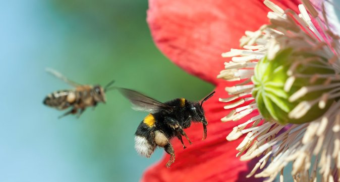 Surprise discovery: large bee species are becoming increasingly smaller