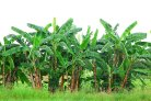 Banana research receives an extra boost through the donation from the Dioraphte Foundation