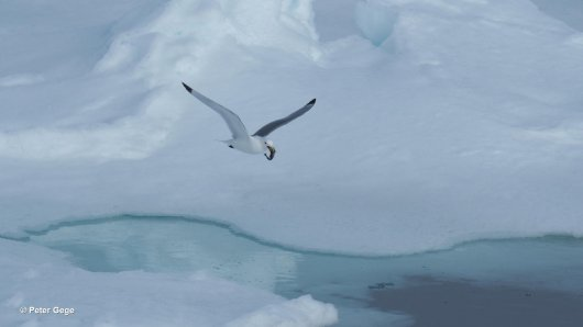 A kittiwake managed to grab a nice snack: a polar cod (photo Peter Gege).