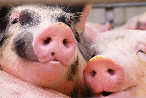 IMAGEN: a better life for pigs and laying hens