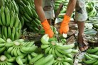 World-first Panama disease-resistant Cavendish bananas
