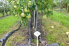 Apple cultivation in trenches looks promising for the future