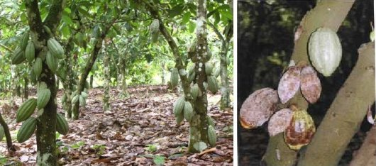 Cocoa field in Ghana. Healthy cocoa pods (left), Phytophthora megakarya infected prods (right).