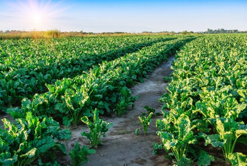 Sugar beet leaves: from biorefinery to techno-functionality