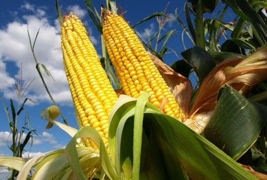 Duurzaam bodembeheer in de maisteelt