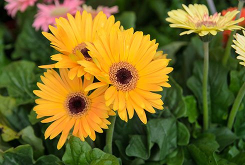 gerbera, growth_model, advanced_breeding_production_systems