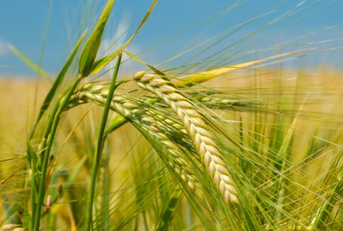 phd thesis on heat tolerance in wheat Department of plant breeding and genetics - phd scholars  genetic basis of salt tolerance in wheat dr abdus  genetic basis of heat tolerance in upland.