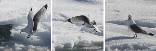 It seems as if this Kittiwake is looking in triumph at Giulia Castellani (AWI), who captured the bird catching a polar cod.