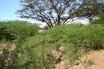 Prosopis encroachment in an Acacia tortilis stand along the Turkwel river in Turkana District, Kenya
