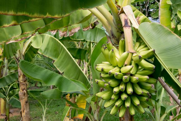 Overcoming the developing pandemic of Panama disease in banana