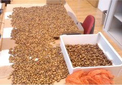 Sound acorns ready to be used in field removal experiment (© Suselbeek)