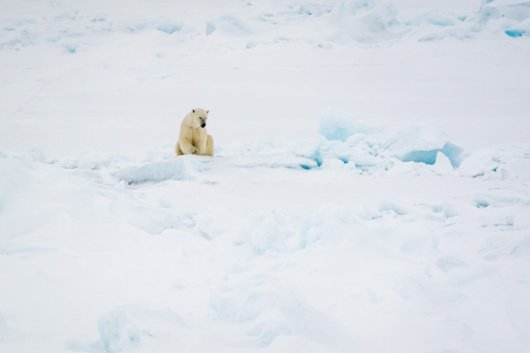 The MOSAiC ice floe was regularly visited by polar bears (photo: Christian Rohleder).