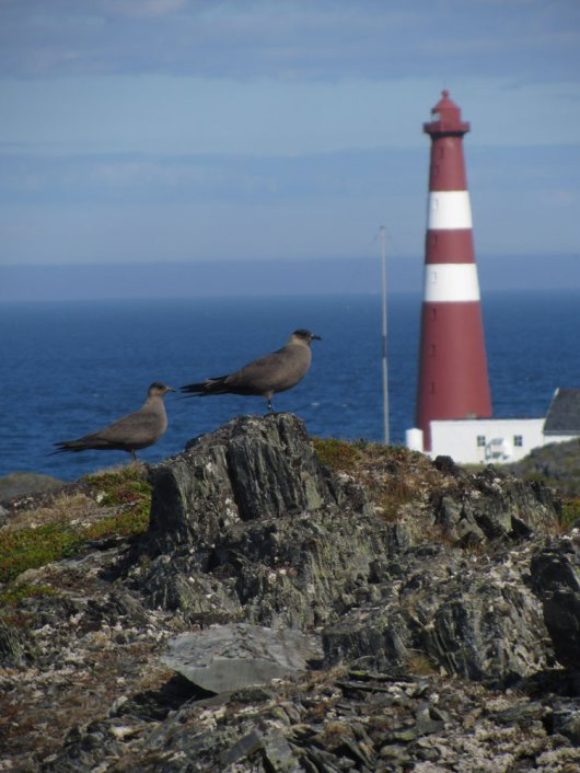 A pair of Arctic Skua (Stercorarius parasiticus) at the lighthouse of Slettnes. The right individual has a geolocator on the right leg. (© Rob van Bemmelen)