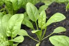 A multidisciplinary approach for damping-off resistance in spinach