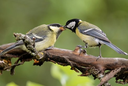 A matter of taste: The role of compatibility in mate preferences in great tits