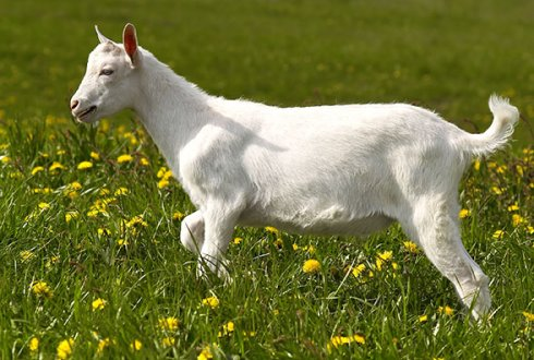 Future-proof breeding for Dutch goat breeds - WUR