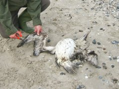 Beached Bird Surveys have been done for decades by volunteers of the Dutch Seabird Group.
