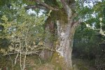 Huge but hollow oak tree. This is what you find when hunting for big and old individuals