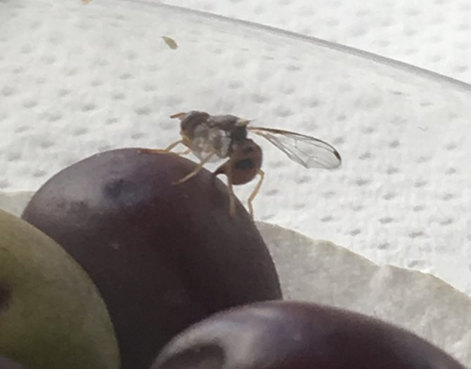Picture2_GIANNOULA BOGKA olive fruit fly 2.jpg