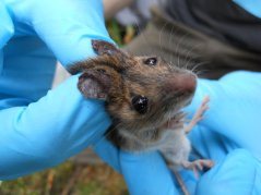 Rodents, such as this wood mouse, are caught to determine their tick burdens