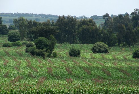 maize seed production plot