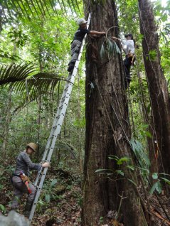Measuring the size of large trees often requires a ladder in order to reach over buttresses. (Credit: Maxime Réjou-Méchain)