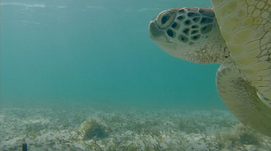 Green sea turtle in Bonaie