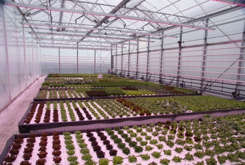 Positive experience with iceberg lettuce in water in cabrio greenhouse