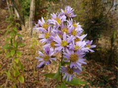 Aster tataricus.        Photo: Willem van Berkel