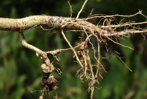 Quantitative studies on potato genotypes and fodder radish varieties resistant to the root-knot nematode Meloidogyne chitwoodi