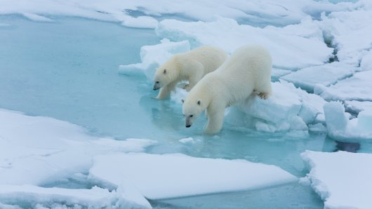 There were regular visits of polar bears during leg 1 (Foto: Alfred Wegener Institute/Stefan Hendriks)