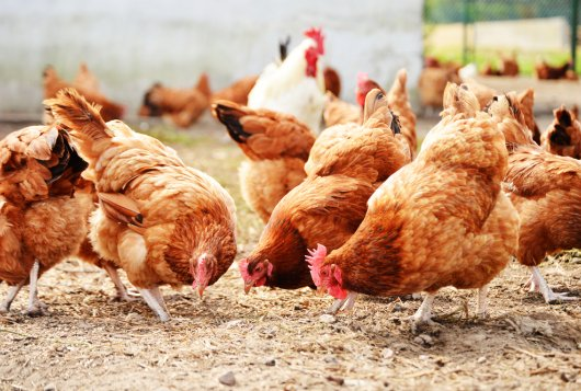 Risicoanalyse H5N8 HPAI vogelgriep 2020