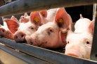 Innovatieve technieken van mestverwijdering en mestbehandeling voor vleesvarkensstallen veehouderij en klimaat