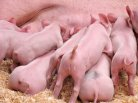 Genes responsible for stillborn mummified piglets found