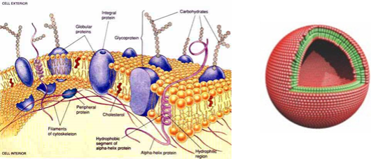 Figure 1. Left: Cartoon of a biological membrane. Right: a lipid vesicle (liposome).