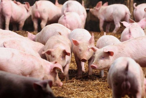Genotype by environment interaction for feed efficiency in growing-finishing pigs in Brazil versus the Netherlands