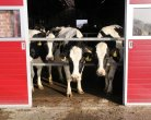 Dairy farmers realize equal daily production and fertility in deliberately extended lactations