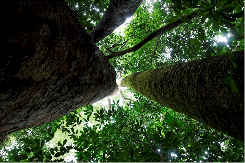 Detecting long term effects of climate change on tropical forest tropical rainforest trees in cameroon khaya anthoteca and antrocaryon klaineanum freerunsca Choice Image