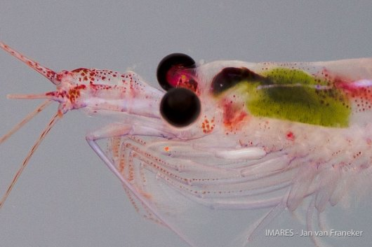 Here in the Southern Ocean, the term 'krill' is  mainly refers to the most abundant species Euphausia superba. However, there are many krill species all over the world.