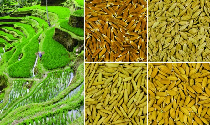 Rice is the staple food for two-thirds of the world population. Farmers experience a large difference between varieties in the speed of quality loss during storage of paddy rice, which are the seeds to be used for the next crop.