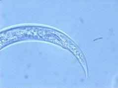 Rotylenchulus borealis male: posterior body with spicule and hyaline tail part