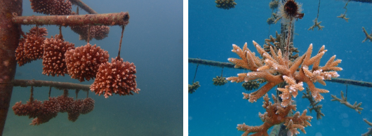 Full grown corals after one year of culture. Photo: Dr. R. Osinga.